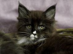 Maine Coon Kitten | Cattery Manjushricoon | The Netherlands | kittentekoop.nl