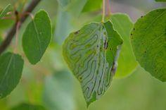 A Maz'n Leaf