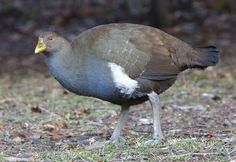 Unlike so many other flightless bird species, the Tasmanian nativehen has actually benefited from humans moving into their territory.