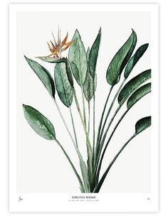 Strelitzia (Strelitzia reginae) more commonly know as Bird of Paradise Plant is one of the new 2017 series of unframed art prints of watercolours by artist M. Koster and supplied by My Deer Art of Netherlands. Plant Painting, Plant Art, Painting Art, Watercolour Painting, Leaf Wall Art, Canvas Wall Art, Fine Art Photo, Photo Art, Art Mural Floral