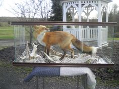 Red Fox Taxidermy Mount Glass Display Case