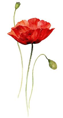 Poppy Flower Laying Down Drawing Png Poppy Flower Laying Down Drawing Png. Poppy Flower Laying Down Drawing Png. Flower Drawings 이미지 ¬•¨ in poppy flower drawing Poppy Flower Laying Down Drawing Png for Tracing for Beginners and Advanced Watercolor Poppies, Watercolor Cards, Red Poppies, Watercolor Paintings, Tattoo Watercolor, Watercolors, Ink Painting, Art Floral, Tracing Pictures