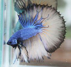 808 Blue MG dragon HM male