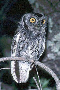 Western Screech Owl (Megascops kennicotti) Location: Davis Mountains, Jeff Davis County, Texas, USA.