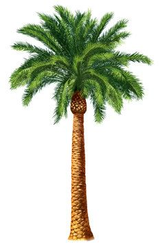 Desert Palm Tree Botanical Island Tropical Tommy by DigitaIDecades Palm Tree Clip Art, Palm Tree Drawing, Palm Tree Paintings, Tree Drawings, Dates Tree, Tree Clipart, Tree Illustration, Illustration Pictures, Vintage Art