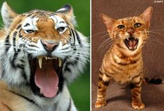 i hate cats, but tom loves tigers and these toygers are pretty adorable