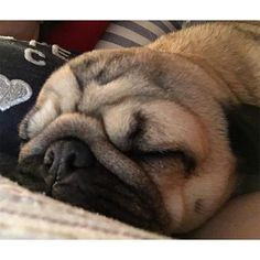 Even though nana keeps coughing and waking me up I'll keep her cosy and warm. She said she'd send us all warm milk and cookies in dreamie land Godnat my special big brother Joey @joeyandgittewest4 Doug @doug.the.pug Arnie @arniespuglife Frank and Stan @frank_and_stan_rule_the_world Carlos and Pablo @miss.carlino_and.pugs Alfie and Suzie @themacpugs Alphie and Teddy @alphie.and.teddy.pug and Edd and Vinny @eddthepug @pugalicious_vinny #purepugspp #pug #pugs #pugsofinstagram #pugbasement…