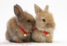 Two baby Lionhead-cross bunnies wearing bells