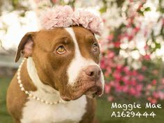 MAGGIE MAE is an adoptable Pit Bull Terrier searching for a forever family near Los Angeles, CA. Use Petfinder to find adoptable pets in your area.