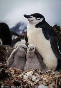 In January, the island of Zavodovski is covered with penguin chicks. Each couple lays two eggs in nests made of small stones or even bones, to aid drainage