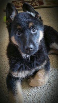 8 Week Old German Shepherd puppy Rex