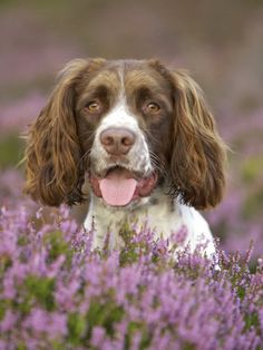 English Springers are the best - just like my childhood dog! :)
