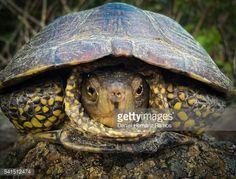 Stock Photo : South European wildlife. The European pond turtle (Emys orbicularis)