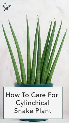 Zz Plant Care, Snake Plant Care, House Plant Care, Snake Plant Propagation, Sansevieria Plant, Inside Plants, Cool Plants, Draceana Plant, Mother In Law Plant