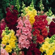 Snapdragons - Are deer resistant yippie!