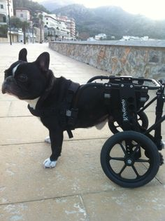 "Wheelchairs for Handicapped Dogs | Hand Built Quality by Ruff Rollin | ""Elmo"" French Bulldog, dog wheelchair, doggie wheels, dog wheels, dog wheelchairs"