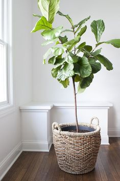 How To Repot A Fiddle Leaf Fig Tree. Indoor fiddle leaf fig tree in a wicker basket container. Cute bench seating nook by the window. Ficus Lyrata, Ficus Pumila, Fiddle Leaf Fig Tree, Fiddle Fig, Fig Leaf Tree, Fig Tree Plant, Tall Plants, Large Plants, Plants Indoor