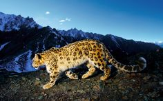 Snow leopards of India.