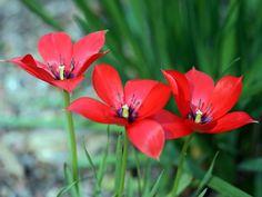tulip linifolia