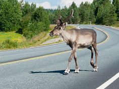 "Called ""Porokello,"" meaning ""Reindeer Bell,"" the app allows drivers to tap their phone screens to register any reindeer spotted near roads"
