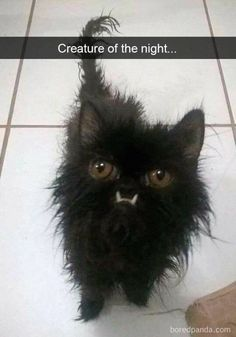 What an Expression! A Feline Ninja baby. With all that determination in it's eyes, and all that black Fluff. A real raven beauty when she grows up. Those teeth! Funny Animal Pictures, Cute Funny Animals, Cute Baby Animals, Ugly Animals, Funny Photos, Pretty Cats, Beautiful Cats, Animals Beautiful, Funny Cat Memes