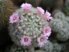 Nová stránka 0 Dandelion, Nova, Flowers, Plants, Cactus, Dandelions, Plant, Taraxacum Officinale, Royal Icing Flowers