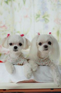 This is how I get my poodle mixes hair cut! I like the one on the right for rajah. I think he would look good with a shorter top cut and longer ears. Little Puppies, Little Dogs, Cute Puppies, Cute Dogs, Dogs And Puppies, Doggies, Animals And Pets, Baby Animals, Cute Animals
