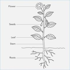 Parts Of A Plant Diagram Lovely Principal Parts A Vascular