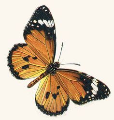 Best butterfly clip art collection: more than 170 free, large drawings of butterflies and clip art to choose from, including cartoon butterflies and fractal art. Cartoon Butterfly, Butterfly Clip Art, Butterfly Drawing, Butterfly Pictures, Butterfly Painting, Vintage Butterfly, Butterfly Cards, Butterfly Wings, Orange And Black Butterfly