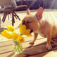 """Tulips smell sooooo good!"" French Bulldog Puppy"