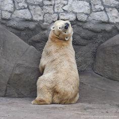 Polar bear looking back, by sergei gladyshev