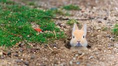 Baby feral domestic rabbit, Ōkunoshima Island (aka Rabbit Island), Hiroshima, Japan (© Yukihiro Fukuda/Minden Pictures)