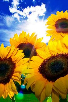 Sunflowers- Doesn't this picture make you feel happier?