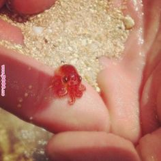 Sometimes a girl just needs to see photos of tiny octopuses … | Octopu