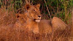 Gorongosa Lions by Gorongosa National Park, Mozambique