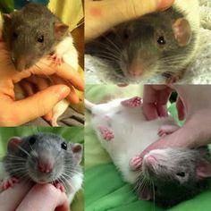 Rat Fan Club - Max