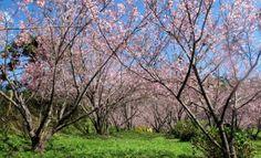 cherry blossom in Campos do Jordão