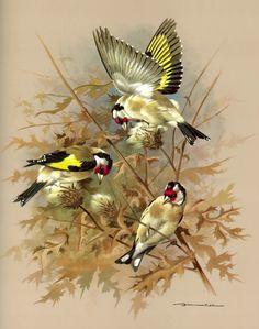 The Goldfinch - Vintage 1965 Bird Print by Basil Ede Watercolor Bird, Watercolor Paintings, Bird Artwork, Goldfinch, All Birds, Bird Illustration, Bird Pictures, Wildlife Art, Bird Prints