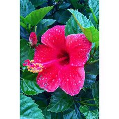 Raindrops   #flower #pinardelrio #cuba #vacation #travel #holiday #rain #leafs #colorful #pink #raindrop #new #angle #beautiful #bush #vinales #city #population #view #amazing #love #happy #experience