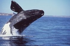 Northern right whale on list of most endangered Species.Also the most endangered whale of all the Whale species Most Endangered Animals, Endangered Plants, Endangered Species, Whale Species, Baleen Whales, Great Whale, Saint Laurent, Beautiful Creatures, Dolphins