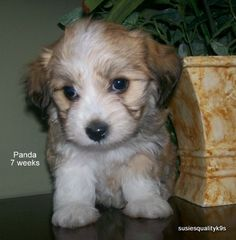 3ed3db0bd500 28 Best I WANT A HAVANESE PUPPY!!!!!!  -( images