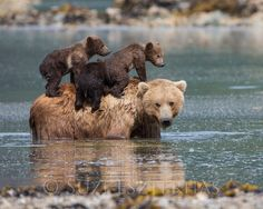 Cute MOM and BABY BEARS Photo Print Baby Animal Photography Wildlife Photograph Nursery Art Mother and Baby Animals kids room Grizzly Animals And Pets, Funny Animals, Cute Animals, Wild Animals, Wildlife Photography, Animal Photography, Photography Tours, Wildlife Fotografie, Mother And Baby Animals