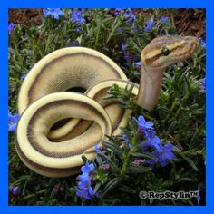 Lesser genetic stripe ball python with blue flowers.