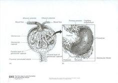 glomerularcells 001.jpg