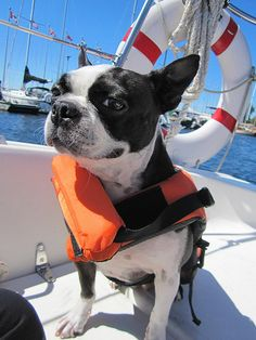 My two loves ... Boston Terriers and Boats!