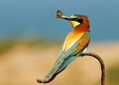 European Bee-eater (Merops apiaster). Birds of Israel