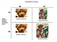 Improper Coat Goldendoodle and Furnishings! (2021) 10 Goldendoodle Breeders, Labradoodle, Love Doodles, You Doodle, Hair Shedding, Pet Dander, Poodle, Puppies