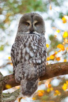 Great+grey+owl