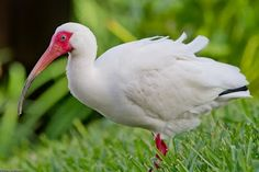 White Ibis near Orlando Florida.  I love the contrast between their pink, wrinkly skin and baby blue eye.  They're really elegant birds.