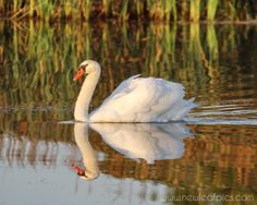 Animal Photography White Swan portrait and by NewLeafPics on Etsy, $25.00